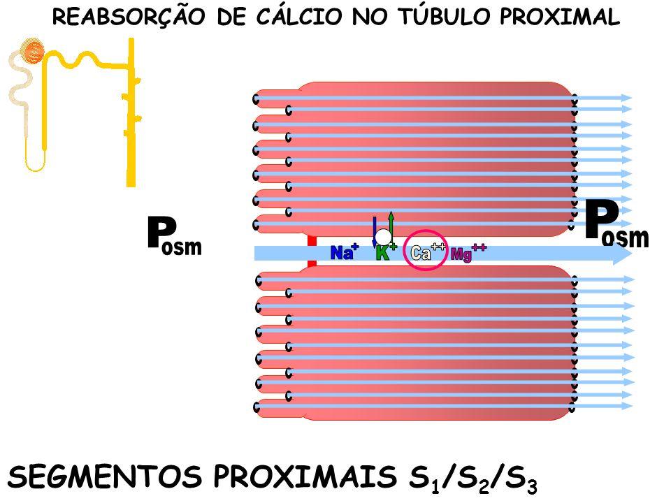 SEGMENTOS PROXIMAIS S 1 /S 2 /S 3 REABSORÇÃO DE CÁLCIO NO TÚBULO PROXIMAL