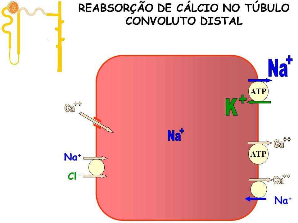 Filtração 10.000 mg/dia ATP Na + Cl - Na + ATP REABSORÇÃO DE CÁLCIO NO TÚBULO CONVOLUTO DISTAL