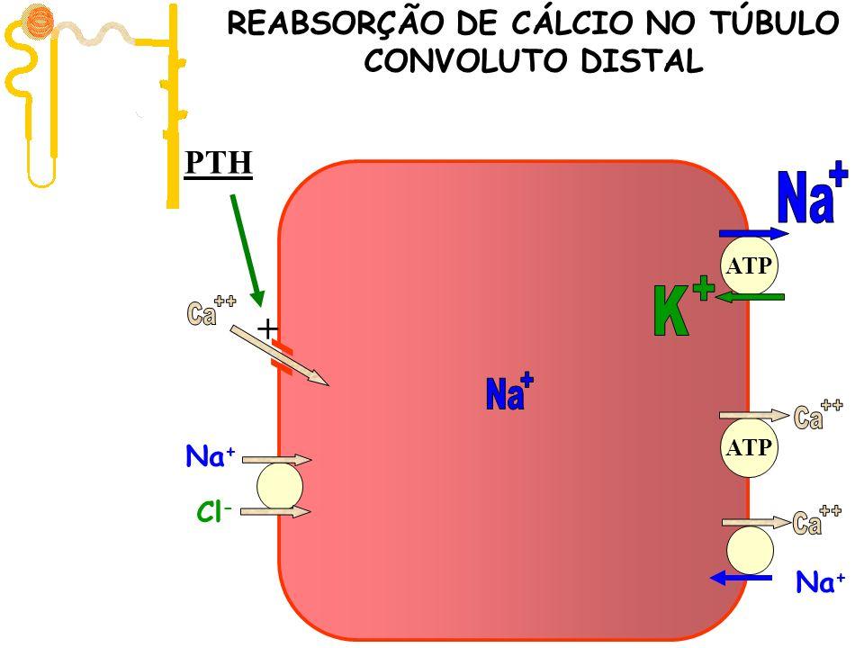 Filtração 10.000 mg/dia ATP Na + Cl - Na + ATP REABSORÇÃO DE CÁLCIO NO TÚBULO CONVOLUTO DISTAL PTH +