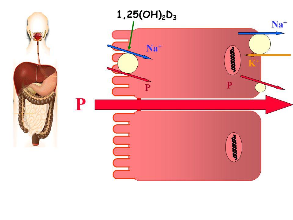 P K+K+ Na + P P 1,25(OH) 2 D 3