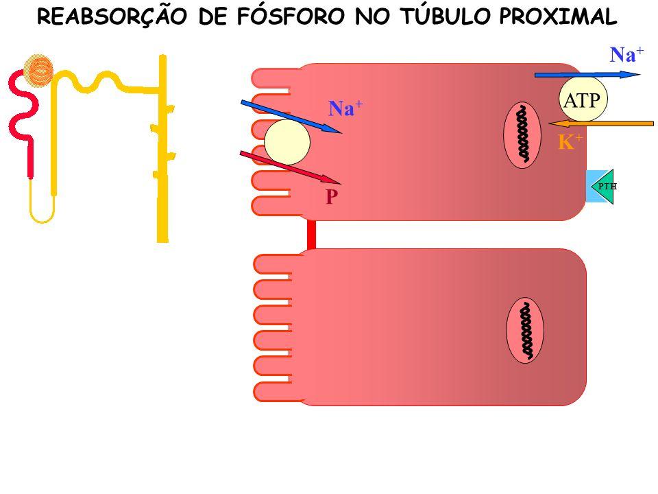 K+K+ Na + P ATP PTH P P P P REABSORÇÃO DE FÓSFORO NO TÚBULO PROXIMAL