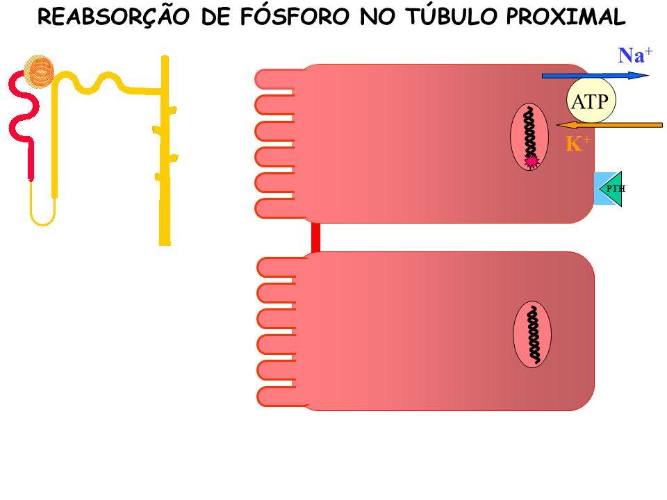 K+K+ Na + ATP PTH P P P P REABSORÇÃO DE FÓSFORO NO TÚBULO PROXIMAL