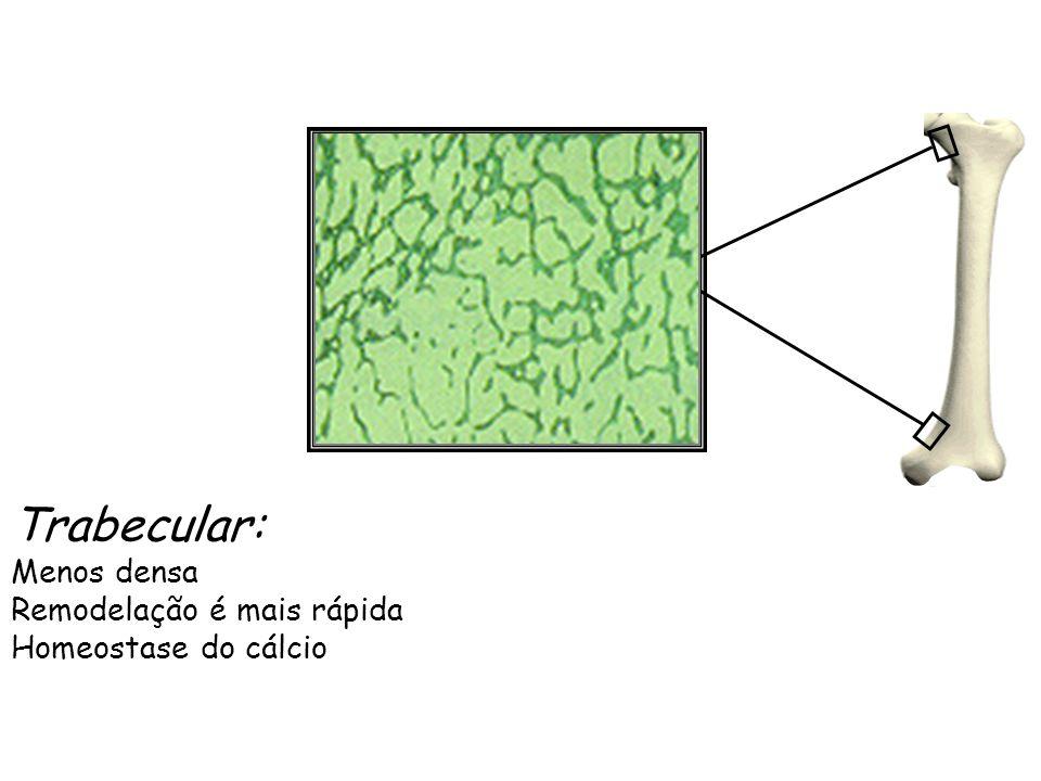 Trabecular: Menos densa Remodelação é mais rápida Homeostase do cálcio