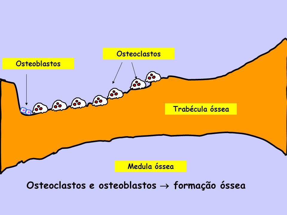 Medula óssea Trabécula óssea Osteoclastos Osteoblastos Osteoclastos e osteoblastos formação óssea