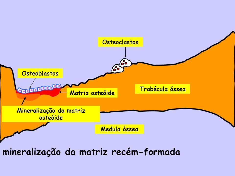 mineralização da matriz recém-formada Medula óssea Trabécula óssea Osteoblastos Osteoclastos Matriz osteóide Mineralização da matriz osteóide