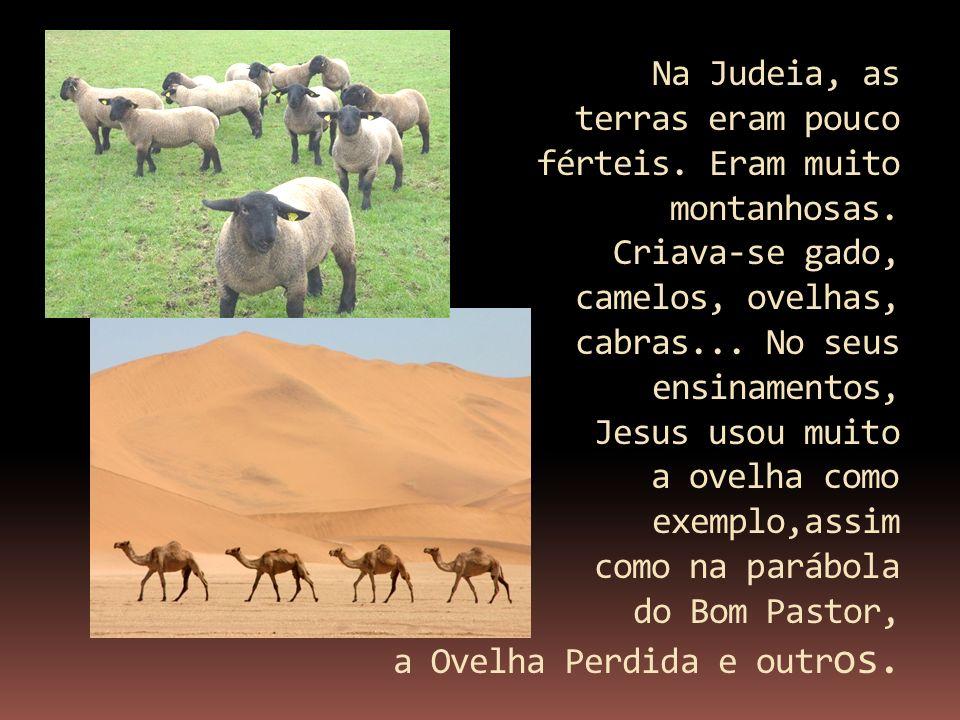 Na Judeia, as terras eram pouco férteis. Eram muito montanhosas. Criava-se gado, camelos, ovelhas, cabras... No seus ensinamentos, Jesus usou muito a