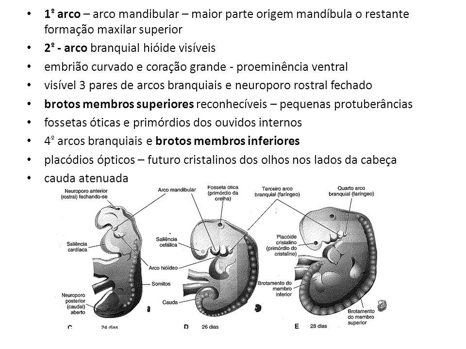 1 º arco – arco mandibular – maior parte origem mandíbula o restante formação maxilar superior 2 º - arco branquial hióide visíveis embrião curvado e
