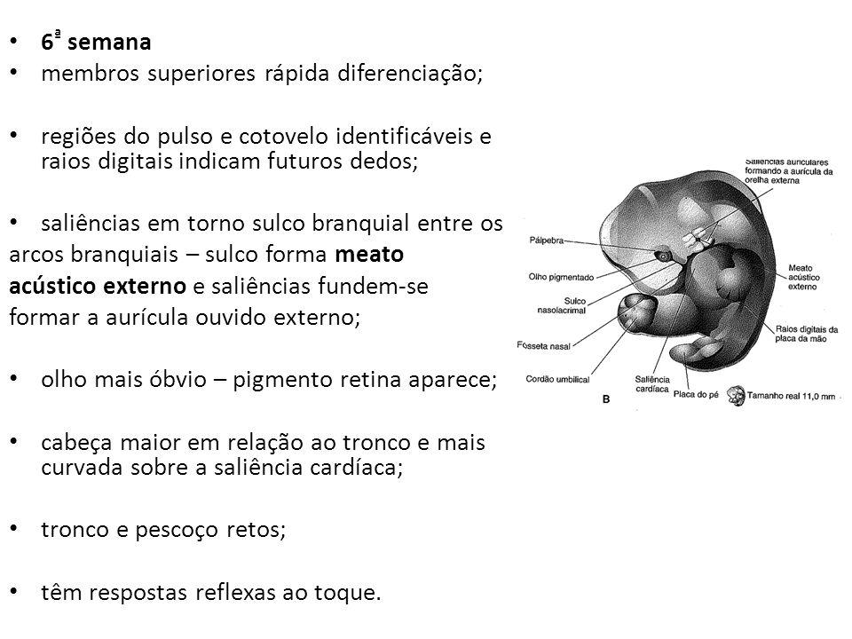 6 ª semana membros superiores rápida diferenciação; regiões do pulso e cotovelo identificáveis e raios digitais indicam futuros dedos; saliências em t