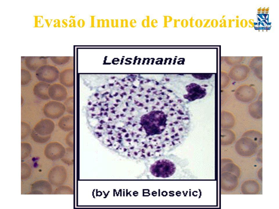 Evasão Imune de Protozoários 1. Reclusão anatômica no hospedeiro. Estágios intracelulares – evitam parte da Resposta Imune E.g. Plasmodium dentro de e