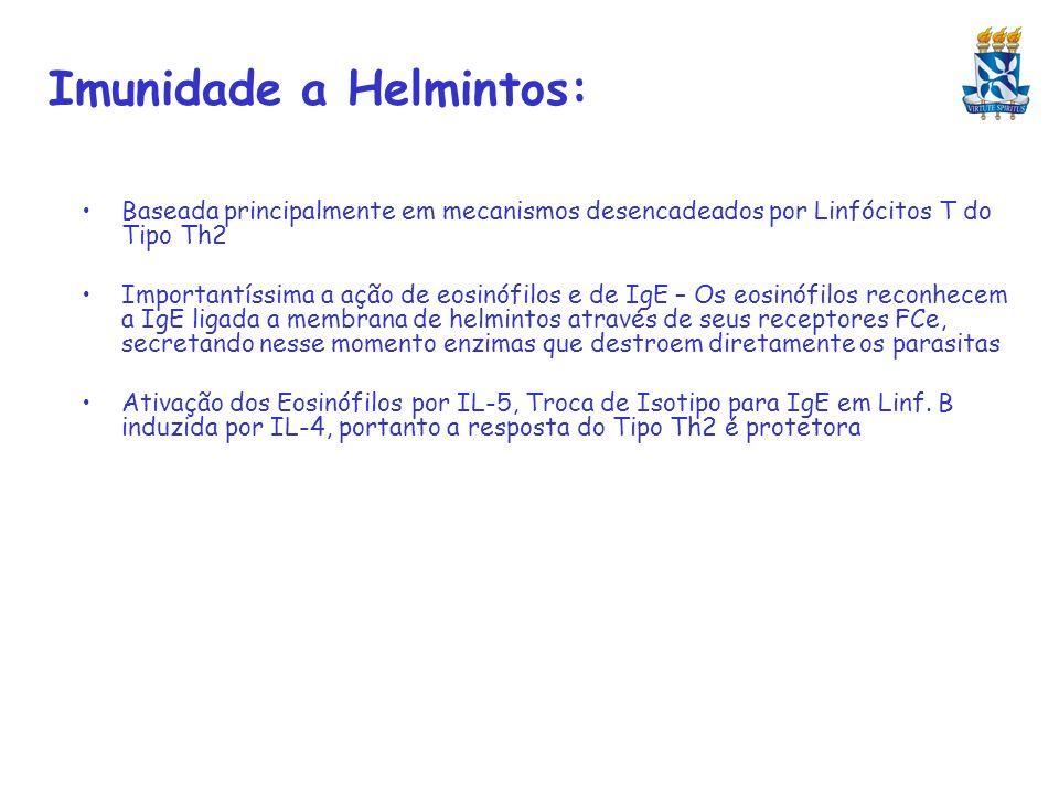 Imunidade a Helmintos: Baseada principalmente em mecanismos desencadeados por Linfócitos T do Tipo Th2 Importantíssima a ação de eosinófilos e de IgE
