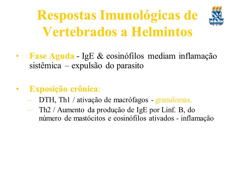 Respostas Imunológicas de Vertebrados a Helmintos Fase Aguda - IgE & eosinófilos mediam inflamação sistêmica – expulsão do parasito Exposição crônica: