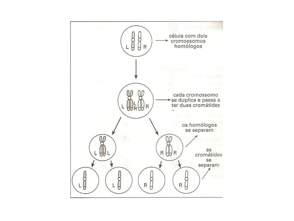 Genes Letais Não obedeciam a proporção esperada. Era obtido 2:1.
