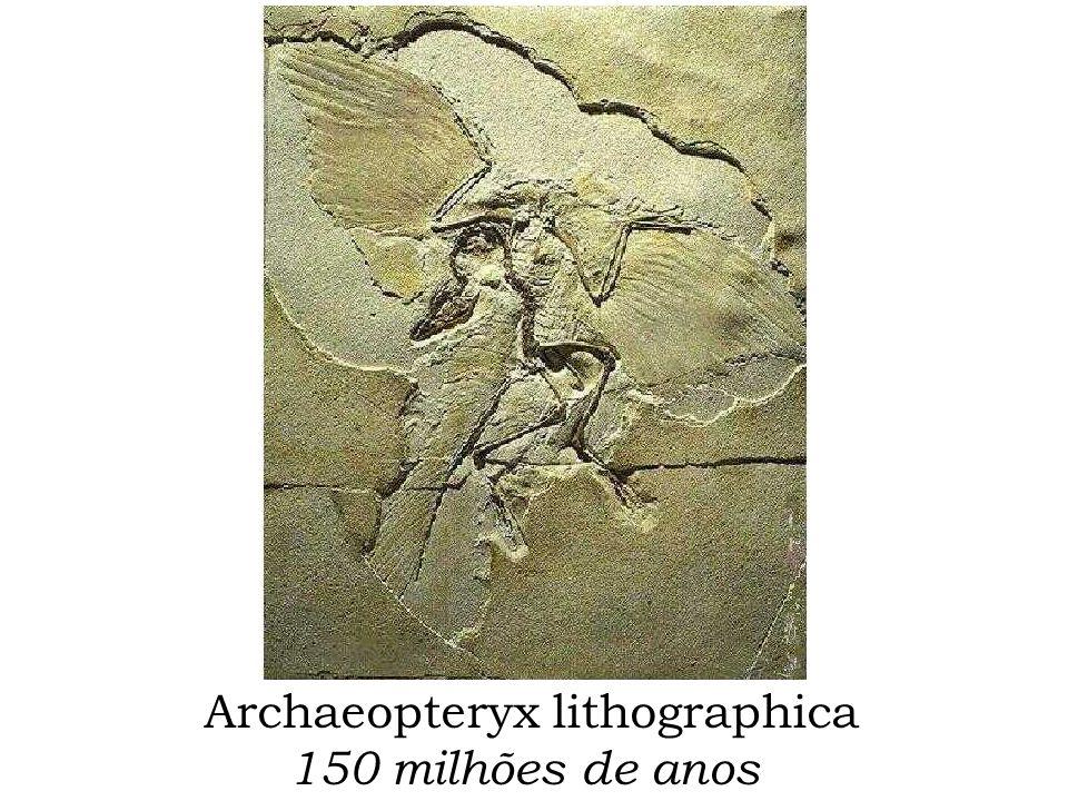 Archaeopteryx lithographica 150 milhões de anos