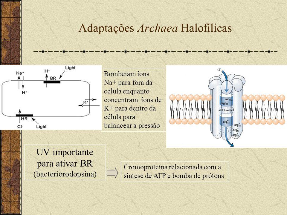 Adaptações Archaea Halofílicas Bombeiam íons Na+ para fora da célula enquanto concentram íons de K+ para dentro da célula para balancear a pressão UV