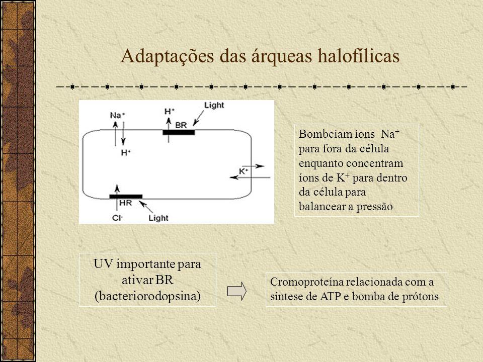 Adaptações das árqueas halofílicas Bombeiam íons Na + para fora da célula enquanto concentram íons de K + para dentro da célula para balancear a press
