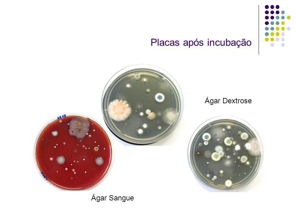 Placas após incubação Ágar Sangue Ágar Dextrose