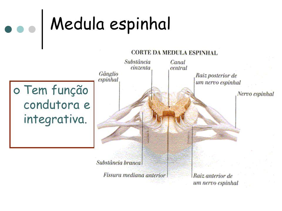 * A medula apresenta substância cinzenta internamente e substância branca externamente. * Tanto o encéfalo como a medula estão envolvidos pelas mening