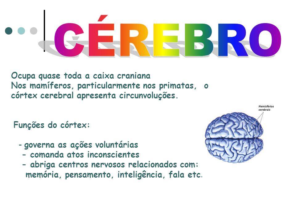 Ocupa quase toda a caixa craniana Nos mamíferos, particularmente nos primatas, o córtex cerebral apresenta circunvoluções.