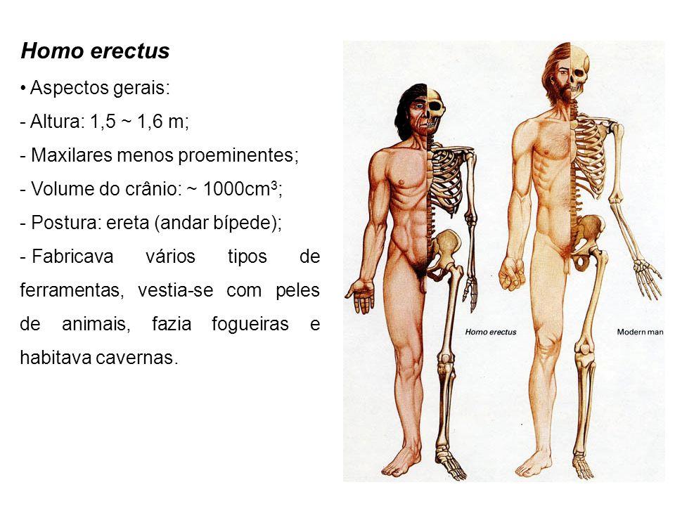 Homo erectus Aspectos gerais: - Altura: 1,5 ~ 1,6 m; - Maxilares menos proeminentes; - Volume do crânio: ~ 1000cm 3 ; - Postura: ereta (andar bípede);