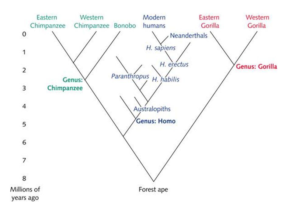 Evolução Humana Na realidade, Darwin propôs que humanos e os grandes primatas compartilhavam o mesmo ancestral: Dados moleculares – comparação de DNA – sustentam a ideia de ancestralidade comum entre humanos e macacos antropoides: