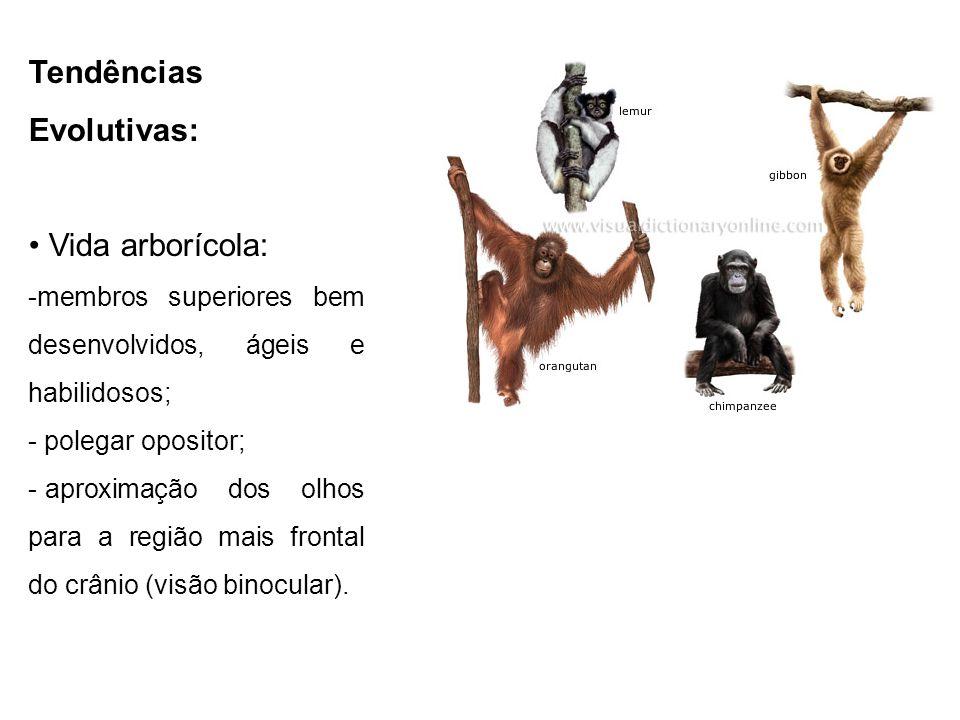 Tendências Evolutivas: Vida arborícola: - membros superiores bem desenvolvidos, ágeis e habilidosos; - polegar opositor; - aproximação dos olhos para a região mais frontal do crânio (visão binocular); - vida social.