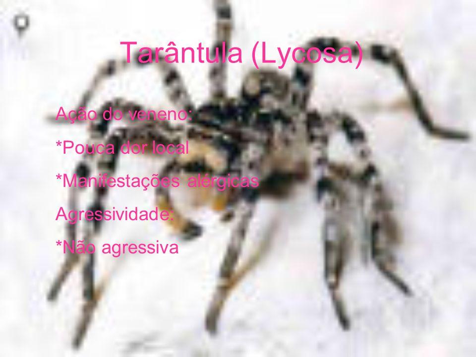 Tarântula (Lycosa) Ação do veneno: *Pouca dor local *Manifestações alérgicas Agressividade: *Não agressiva