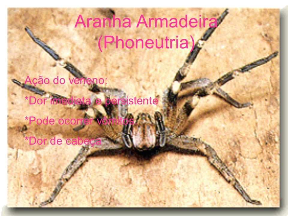 Aranha Armadeira (Phoneutria) Ação do veneno: *Dor imediata e persistente *Pode ocorrer vômitos. *Dor de cabeça