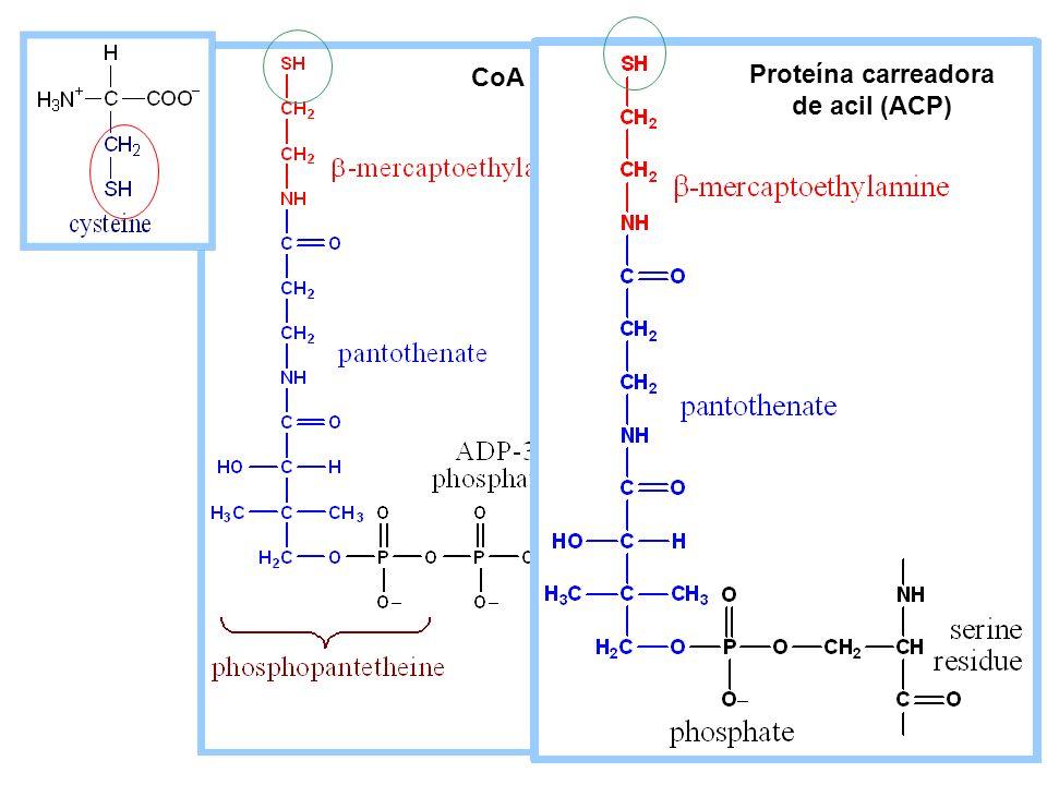 CoA Proteína carreadora de acil (ACP)
