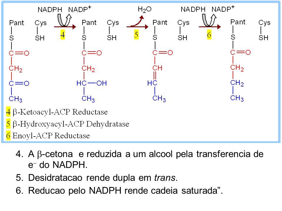 4.A -cetona e reduzida a um alcool pela transferencia de e do NADPH. 5.Desidratacao rende dupla em trans. 6.Reducao pelo NADPH rende cadeia saturada.