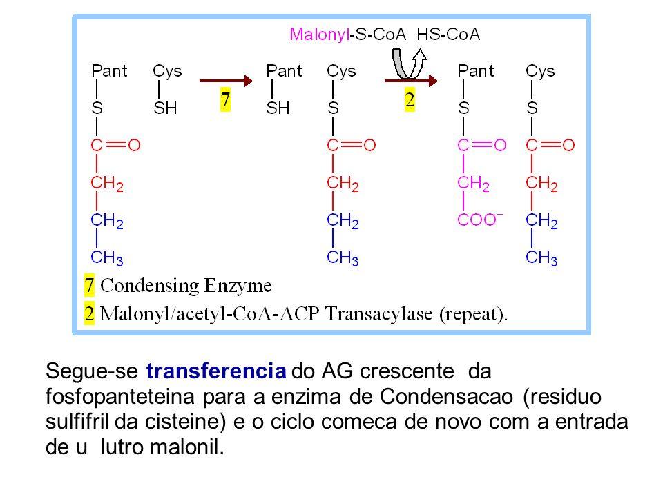 Segue-se transferencia do AG crescente da fosfopanteteina para a enzima de Condensacao (residuo sulfifril da cisteine) e o ciclo comeca de novo com a
