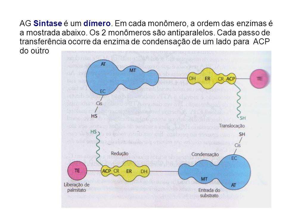 . AG Sintase é um dímero. Em cada monômero, a ordem das enzimas é a mostrada abaixo. Os 2 monômeros são antiparalelos. Cada passo de transferência oco