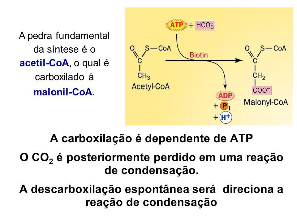 A carboxilação é dependente de ATP O CO 2 é posteriormente perdido em uma reação de condensação. A descarboxilação espontânea será direciona a reação