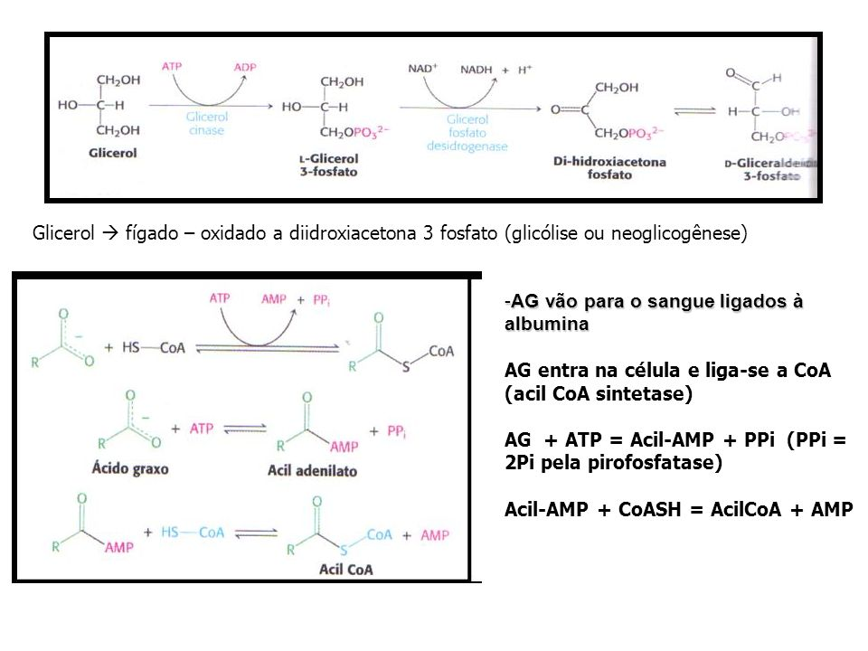 Glicerol fígado – oxidado a diidroxiacetona 3 fosfato (glicólise ou neoglicogênese) -AG vão para o sangue ligados à albumina AG entra na célula e liga