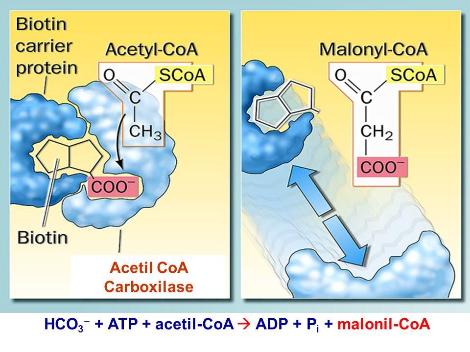Acetil CoA Carboxilase HCO 3 + ATP + acetil-CoA ADP + P i + malonil-CoA
