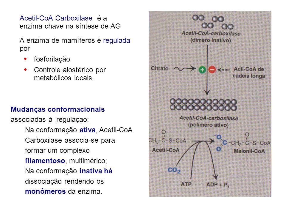 Acetil-CoA Carboxilase é a enzima chave na síntese de AG A enzima de mamíferos é regulada por fosforilação Controle alostérico por metabólicos locais.