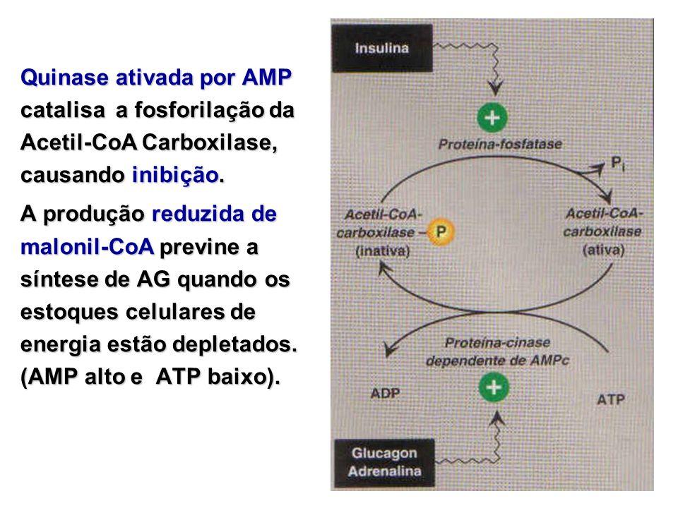Quinase ativada por AMP catalisa a fosforilação da Acetil-CoA Carboxilase, causando inibição. A produção reduzida de malonil-CoA previne a síntese de