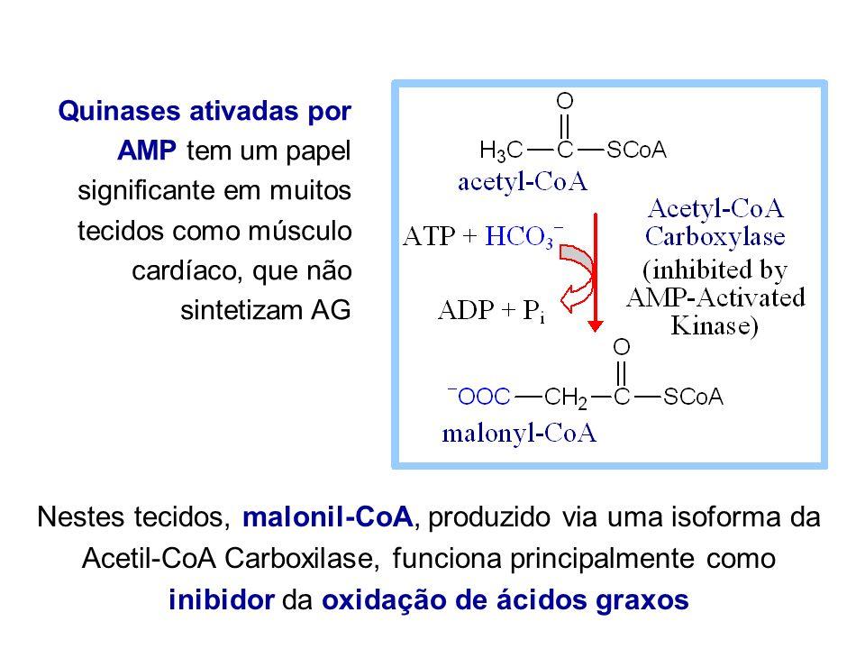 Quinases ativadas por AMP tem um papel significante em muitos tecidos como músculo cardíaco, que não sintetizam AG Nestes tecidos, malonil-CoA, produz