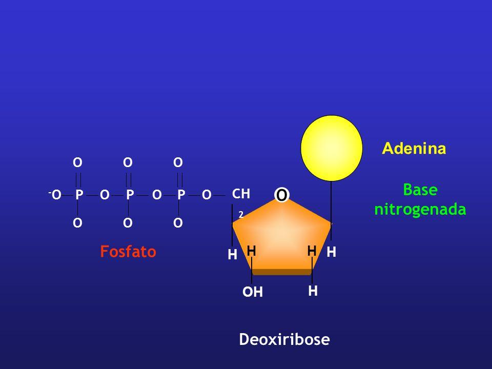 O CH 2 H H H HH OH Deoxiribose OPPOOP -O-O OOO OOO Fosfato Base nitrogenada Adenina