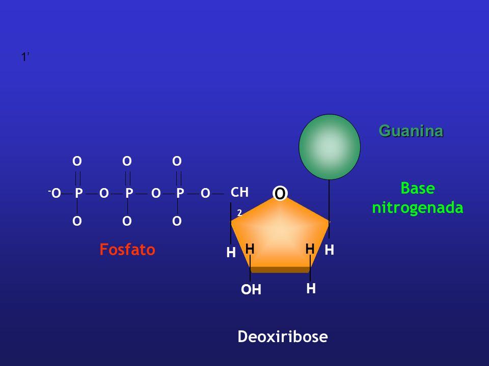 O CH 2 H H H HH OH Deoxiribose OPPOOP -O-O OOO OOO Fosfato Base nitrogenada Guanina 1
