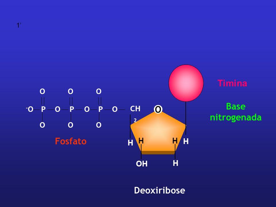 O CH 2 H H H HH OH Deoxiribose OPPOOP -O-O OOO OOO Fosfato Base nitrogenada Timina 1