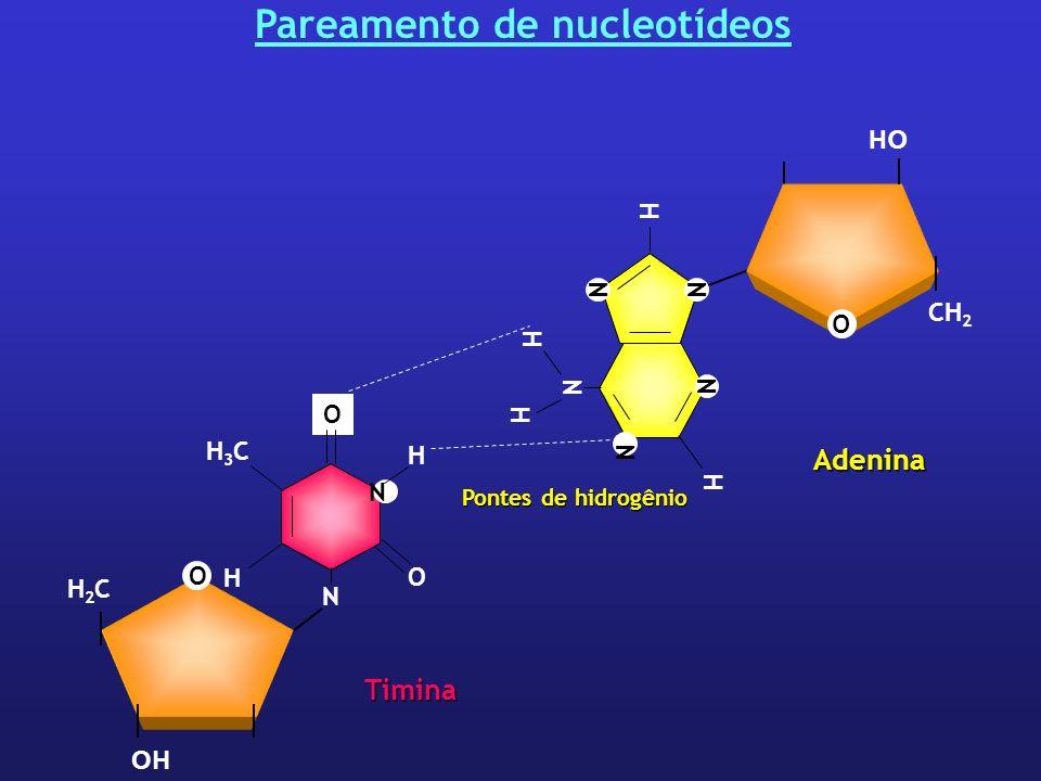 Pareamento de nucleotídeos Pontes de hidrogênio CH 2 O OH Adenina N H N H N H NN H O H2CH2C H N O O N H3CH3C H Timina