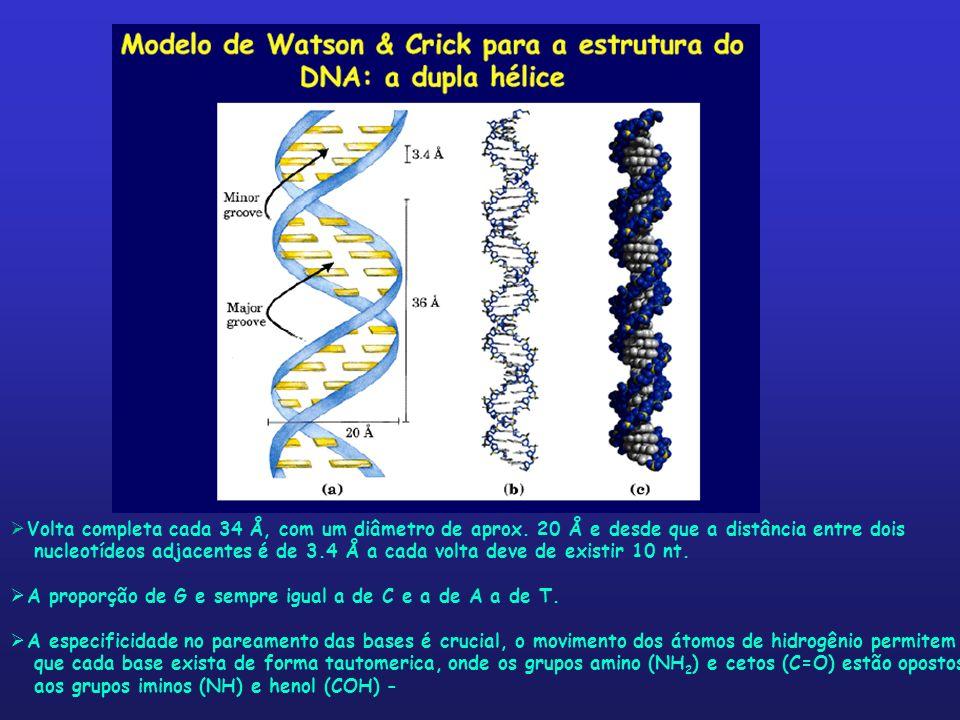 Volta completa cada 34 Å, com um diâmetro de aprox. 20 Å e desde que a distância entre dois nucleotídeos adjacentes é de 3.4 Å a cada volta deve de ex