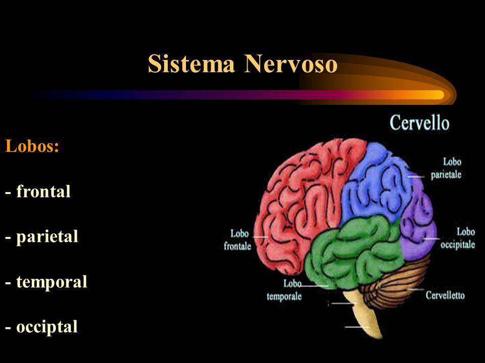Sistema Nervoso Lobos: - frontal - parietal - temporal - occiptal
