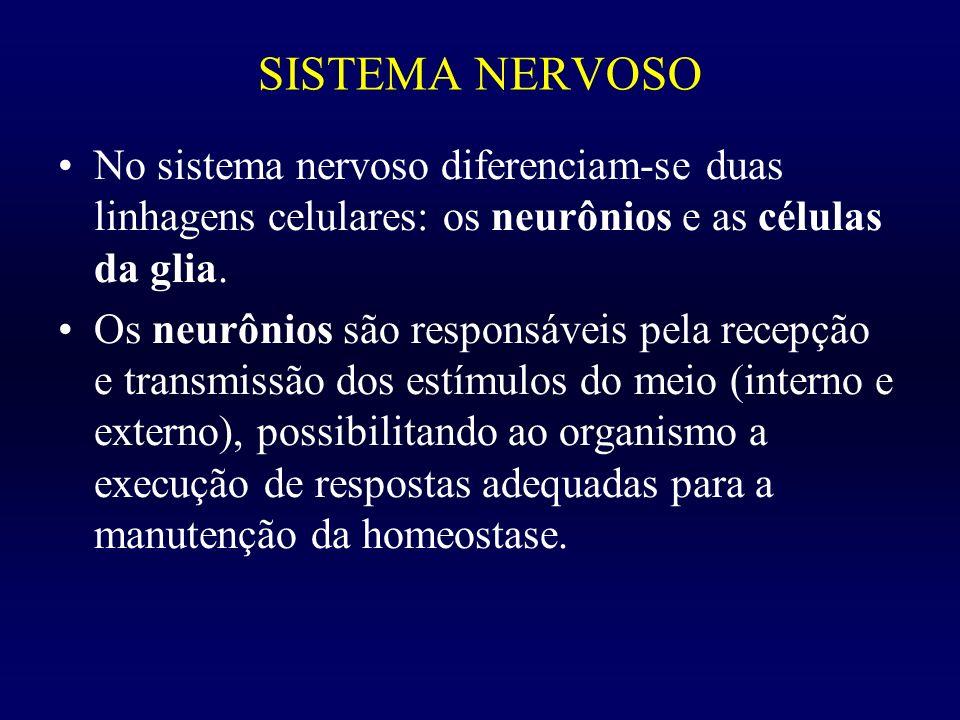 SISTEMA NERVOSO No sistema nervoso diferenciam-se duas linhagens celulares: os neurônios e as células da glia. Os neurônios são responsáveis pela rece