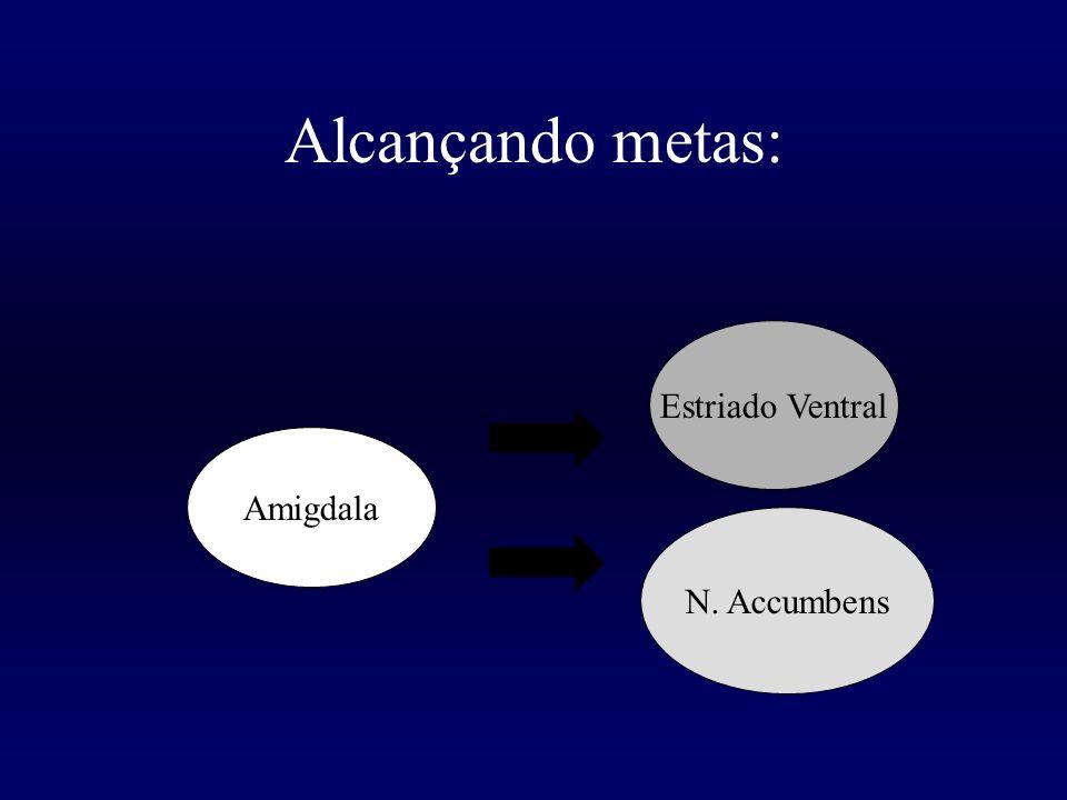 Alcançando metas: Amigdala Estriado Ventral N. Accumbens