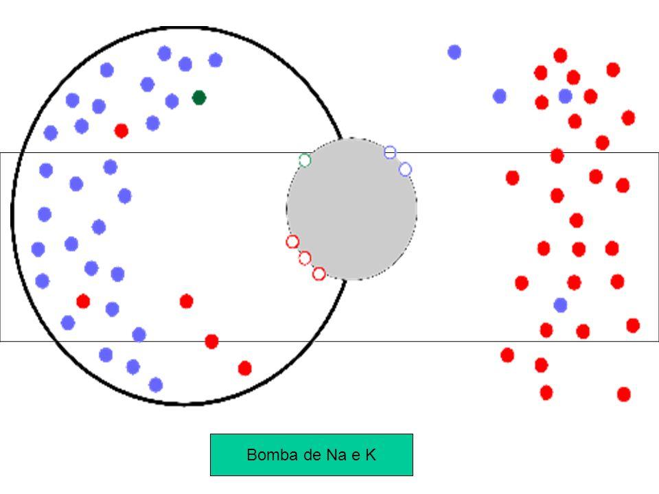 O Potencial de Ação Ao ser estimulada, uma pequena região da membrana torna-se permeável ao sódio (abertura dos canais de sódio).