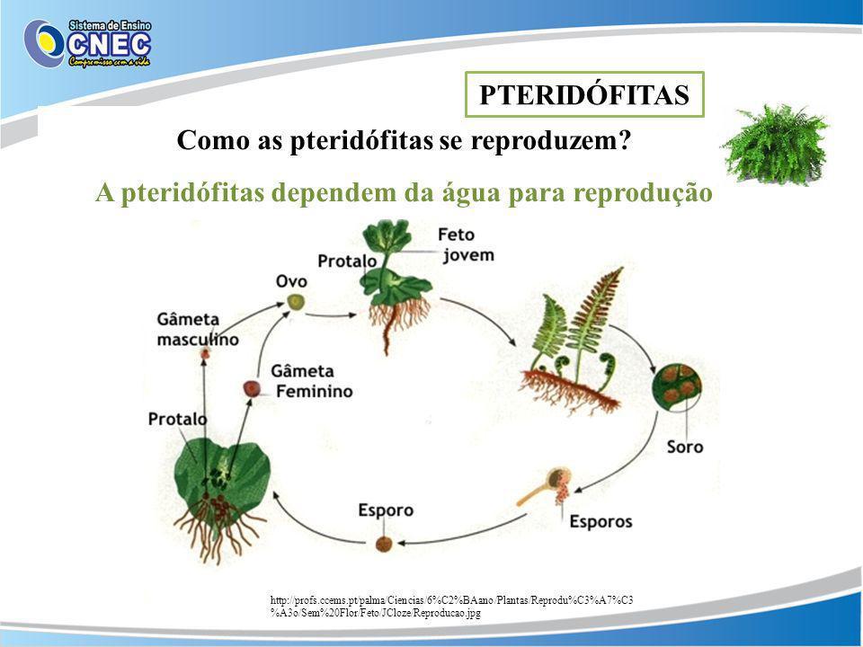 Como as pteridófitas se reproduzem? A pteridófitas dependem da água para reprodução PTERIDÓFITAS http://profs.ccems.pt/palma/Ciencias/6%C2%BAano/Plant
