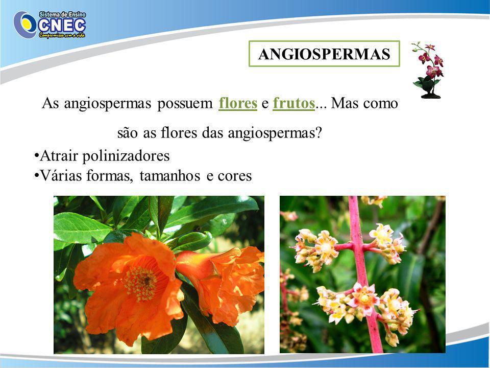 ANGIOSPERMAS As angiospermas possuem flores e frutos... Mas como são as flores das angiospermas? Atrair polinizadores Várias formas, tamanhos e cores