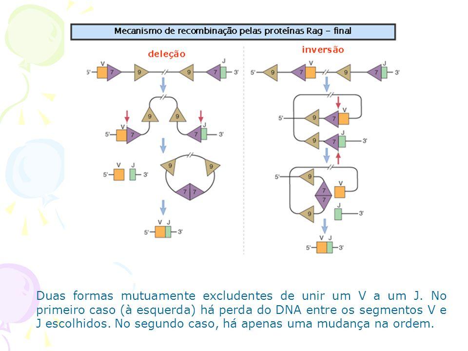 Muitas regiões V diferentes podem ser feitas pela seleção de diferentes combinações dos segmentos gênicos.