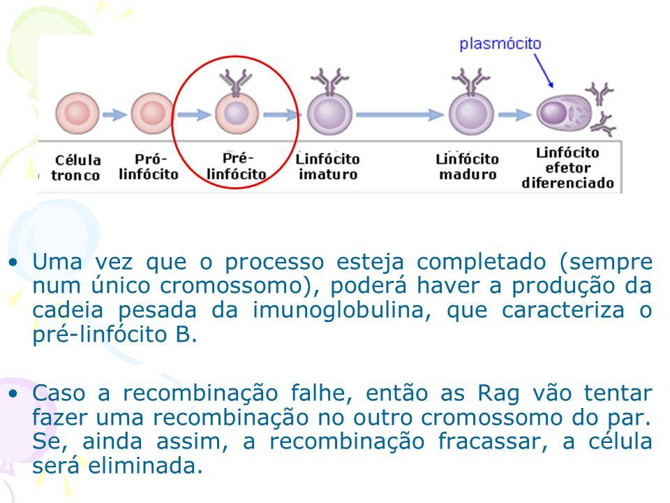 Diversidade nas regiões constantes (C) das imunoglobulinas Os genes da região C mudam na sua progênie quando elas maturam e proliferam no curso de uma resposta imune.